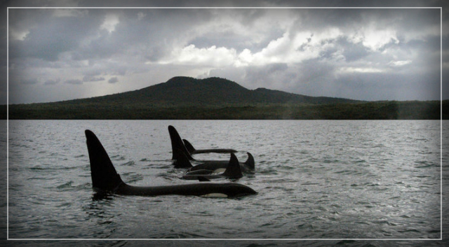 Killer whales explain the mystery of the menopause – Robin McKie.