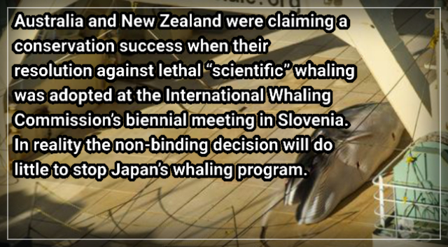 Sea Shepherd photographs Japanese whalers in Australian Whale Sanctuary with dead whale – NZ Herald.