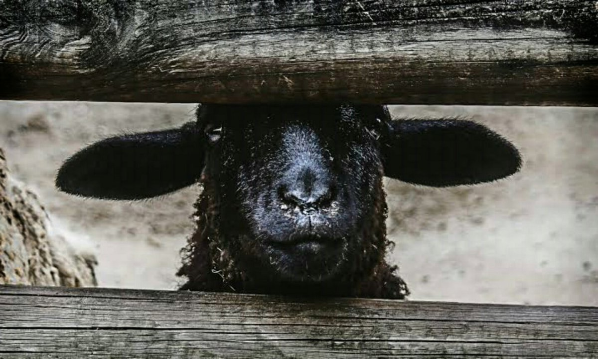 BEING THE BLACK SHEEP. Coping with a Marginalizing Family - Vinita Mehta Ph.D., Ed.M. * The communicative process of resilience for marginalized family members - Elizabeth Dorrance Hall.